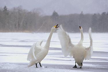 Whooper Swan (Cygnus cygnus) pair arguing at wintering site, Kussharo-ko, Hokkaido, Japan  -  Konrad Wothe