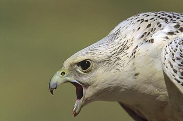 Gyrfalcon (Falco rusticolus) adult female calling, North America  -  Konrad Wothe