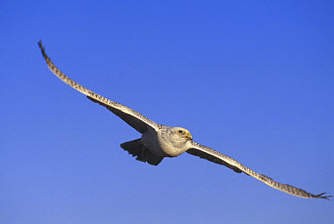 Gyrfalcon (Falco rusticolus) flying, North America  -  Konrad Wothe