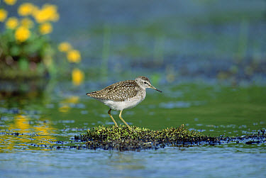 Wood Sandpiper (Tringa glareola) perching on moss mound surrounded by water, Europe  -  Konrad Wothe