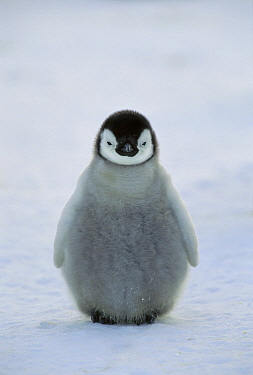 Emperor Penguin (Aptenodytes forsteri) chick, Antarctica