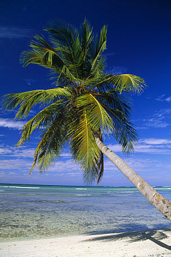 Coconut Palm (Cocos nucifera) trees and beach overlooking lagoon, Dominican Republic  -  Konrad Wothe