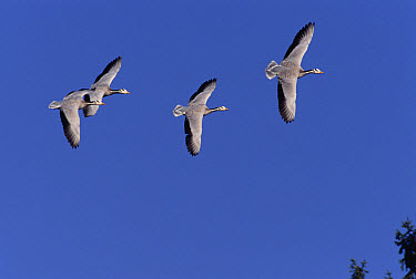 Bar-headed Goose (Anser indicus) group flying, native to central Asia, north of the Himalayas  -  Konrad Wothe