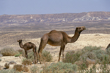 Dromedary (Camelus dromedarius) camel with young, Egypt  -  Konrad Wothe