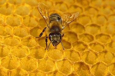 Honey Bee (Apis mellifera) on honeycomb, Germany  -  Konrad Wothe