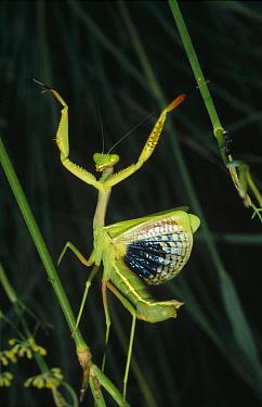 Mediterranean Mantis (Iris oratoria) female in defensive display, Spain  -  Konrad Wothe