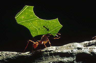 Leafcutter Ant (Attini sp) carrying leaf piece back to nest with smaller ant riding on leaf, small ant defends larger worker from parasitic flies, Honduras  -  Konrad Wothe