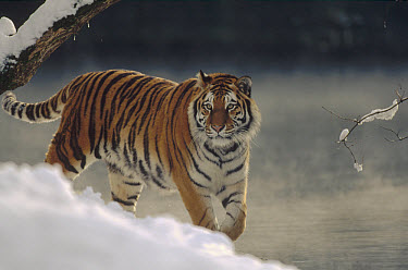 Siberian Tiger (Panthera tigris altaica) walking along river bank in the snow, Russia  -  Konrad Wothe