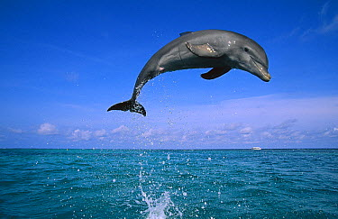 Bottlenose Dolphin (Tursiops truncatus) leaping out of water, Caribbean  -  Konrad Wothe