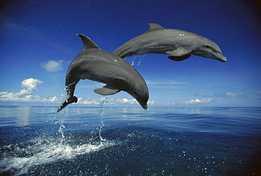 Bottlenose Dolphin (Tursiops truncatus) pair jumping, Caribbean