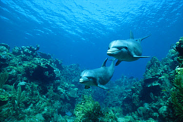 Bottlenose Dolphin (Tursiops truncatus) pair swimming over coral reef, Honduras  -  Konrad Wothe