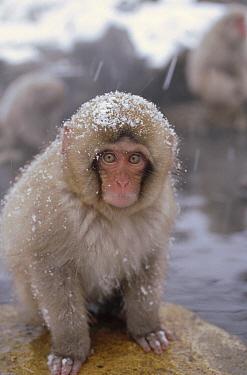Japanese Macaque (Macaca fuscata) in hot springs, Japanese Alps, Nagano, Japan  -  Konrad Wothe