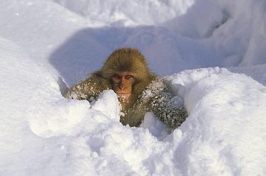 Japanese Macaque (Macaca fuscata) baby playing in snow, Japanese Alps, Nagano, Japan  -  Konrad Wothe