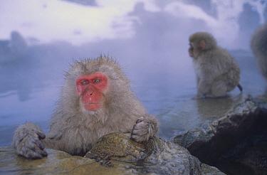 Japanese Macaque (Macaca fuscata) group soaking in hot springs, Japanese Alps, Nagano, Japan  -  Konrad Wothe