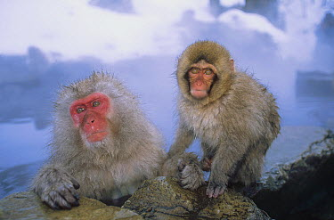 Japanese Macaque (Macaca fuscata) group soaking in hot springs, Japanese Alps, Nagano, Japan  -  Konrad Wothe