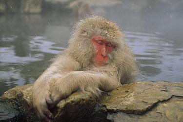 Japanese Macaque (Macaca fuscata) soaking in hot springs, Japanese Alps, Nagano, Japan  -  Konrad Wothe