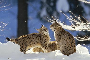 Eurasian Lynx (Lynx lynx) pair resting in snow, Bayerischer Wald National Park, Germany  -  Konrad Wothe