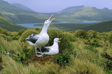 Southern Royal Albatross (Diomedea epomophora) pair communicating at nest, Campbell Island, New Zealand  -  Konrad Wothe