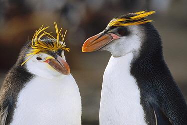 Royal Penguin (Eudyptes schlegeli) pair, Macquarie Island, Australia  -  Konrad Wothe
