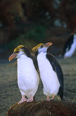 Royal Penguin (Eudyptes schlegeli) pair on nest, Macquarie Island, Australia  -  Konrad Wothe