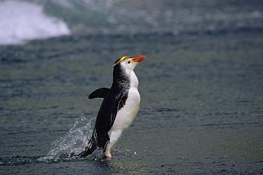 Royal Penguin (Eudyptes schlegeli) coming ashore, Macquarie Island, Australia  -  Konrad Wothe