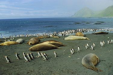 Royal Penguin (Eudyptes schlegeli) group and Southern Elephant Seals (Mirounga leonina) on beach, Macquarie Island, Australia  -  Konrad Wothe
