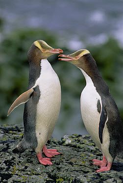 Yellow-eyed Penguin (Megadyptes antipodes) pair communicating, Enderby Island, Auckland Islands, New Zealand  -  Konrad Wothe