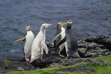 Yellow-eyed Penguin (Megadyptes antipodes) group with two albinos, Enderby Island, Auckland Islands, New Zealand  -  Konrad Wothe