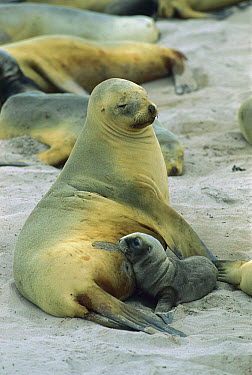 Hooker's Sea Lion (Phocarctos hookeri) mother and nursing pup, Enderby Island, Auckland Islands, New Zealand  -  Konrad Wothe