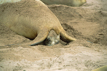 Hooker's Sea Lion (Phocarctos hookeri) mother giving birth to pup, Enderby Island, Auckland Islands, New Zealand  -  Konrad Wothe