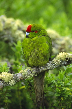 Green-cheeked Amazon Parrot (Amazona viridigenalis) perching on branch, Enderby Island, Auckland Islands, New Zealand