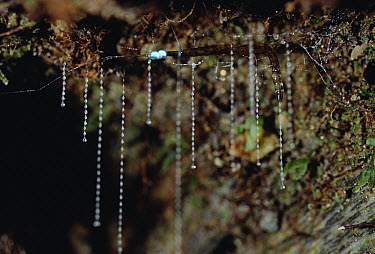 New Zealand Glow-worm (Arachnocampa luminosa) the larval stage of a fly, captures prey with hanging sticky tendrils of mucus, Fox Glacier, New Zealand  -  Konrad Wothe