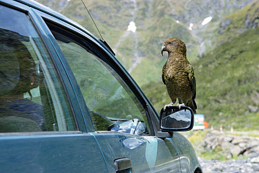 Kea (Nestor notabilis) perched on rear view mirror of automobile at Homer Tunnel, Fjordland National Park, South Island, New Zealand  -  Konrad Wothe