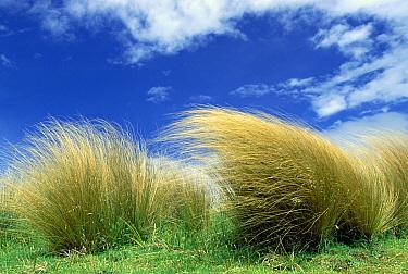 Red Tussock (Chionochloa rubra), South Island, New Zealand  -  Konrad Wothe