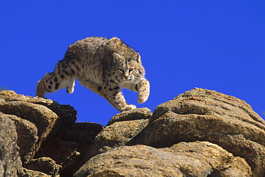 Bobcat (Lynx rufus) leaping from rocks, Colorado