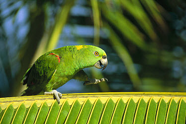 Yellow-naped Parrot (Amazona auropalliata) walking along palm frond, Amazon, Brazil  -  Konrad Wothe