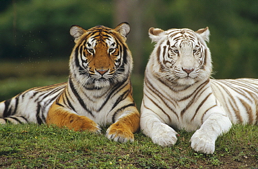 Bengal Tiger (Panthera tigris tigris) pair, one with normal coloration and other is a white morph, India