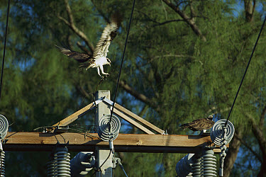 Osprey (Pandion haliaetus) landing on power pole where mate is waiting with beginnings of nest, North America  -  Konrad Wothe