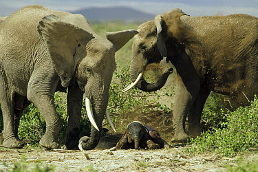 African Elephant (Loxodonta africana) females tending to newborn calf, Kenya