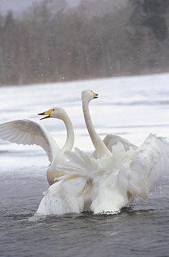 Whooper Swan (Cygnus cygnus) pair wintering, Hokkaido, Japan  -  Konrad Wothe
