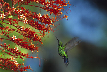 Blue-tailed Hummingbird (Amazilia cyanura) feeding at flowers, Honduras  -  Konrad Wothe