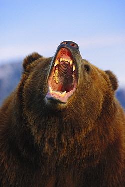 Grizzly Bear (Ursus arctos horribilis) growling, North America