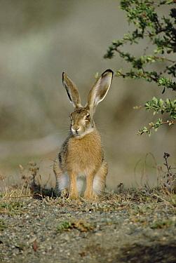 Cape Hare (Lepus capensis) portrait, Africa  -  Konrad Wothe