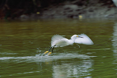 Snowy Egret (Egretta thula) flying, coasts, wetlands of North America  -  Konrad Wothe