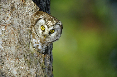 Boreal Owl (Aegolius funereus) in nest cavity, Sweden