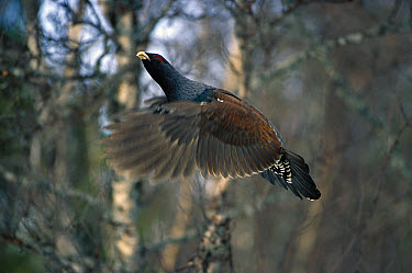 Western Capercaillie (Tetrao urogallus) male flying, Sweden  -  Konrad Wothe