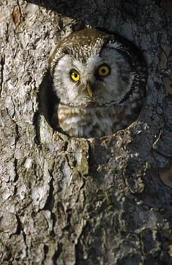 Boreal Owl (Aegolius funereus) peaking through hole in tree, Sweden  -  Konrad Wothe
