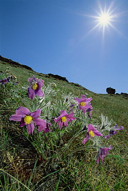 Pasque Flower (Pulsatilla sp) on hillside beneath shining sun, Barakchin Island, Lake Baikal, Russia  -  Konrad Wothe