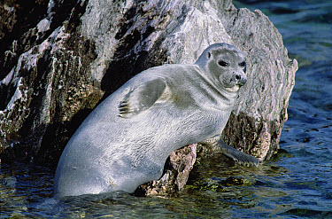 Baikal Seal (Phoca sibirica) resting on rock, Zabaikalsky National Park, Ushkany Islands, Lake Baikal, Russia  -  Konrad Wothe