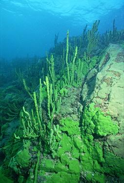 Sponge (Lubomirskia baicalensis) growing on rocky lake bed, Lake Baikal, Russia  -  Konrad Wothe